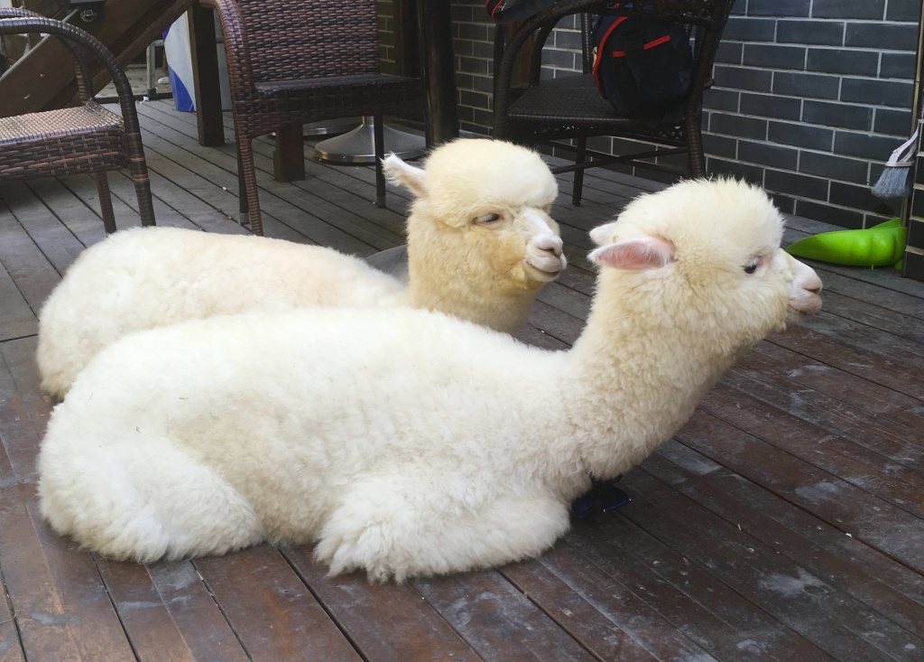 two alpacas lying down at the cafe.